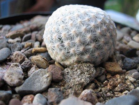 Cacti, Queretaro, Cactus-mexico, Mammillaria Herrerae