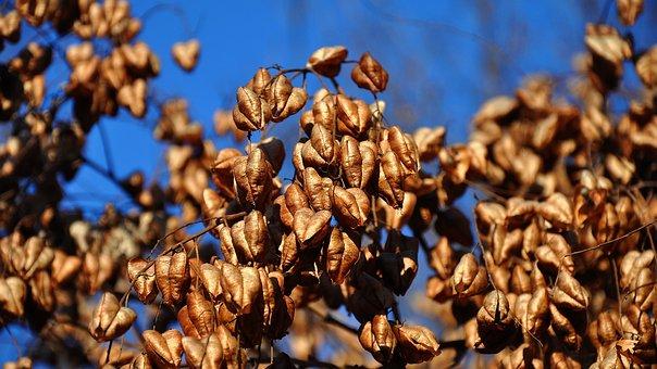 Nature, Crop, Seeds, Koelreuteria Paniculata