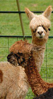 Cute, Alpacas, Animal, Mammal, Lama, Nature, Fur, Farm