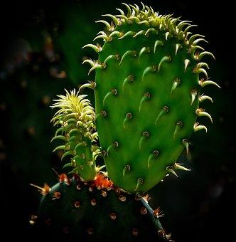 Cactus, Green, Nature, Plant, Desert, Botany, Thorn