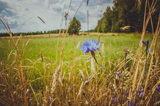 Knapweed, Field, Wild Flowers, Blue, Grass, Blue Flower