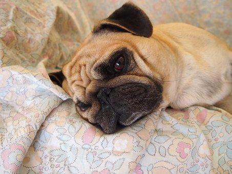 Dog, Carlino, Relaxes, Sofa, Sad, Sleep, Pet, Carina