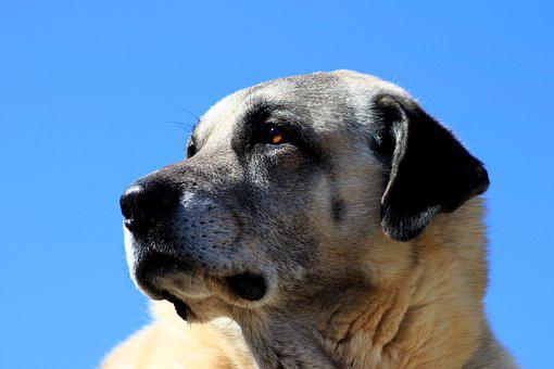 Dog, Animal, Pets, Watchdog, Kangal, Eye
