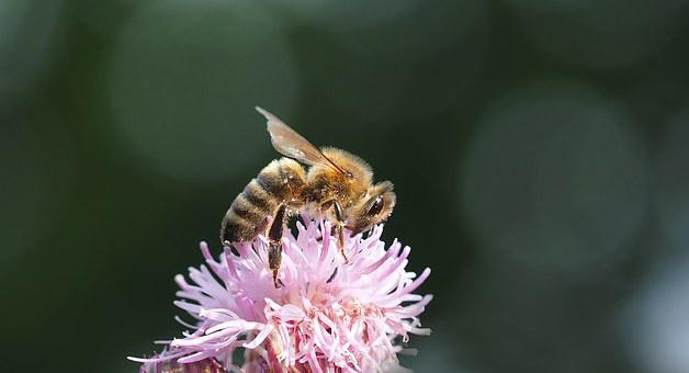 Bee, Thistle, Honey Bee, Close Up, Blossom, Bloom