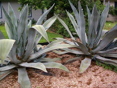 Agave, Cactus, Plant, Succulent, Botany, Botanical