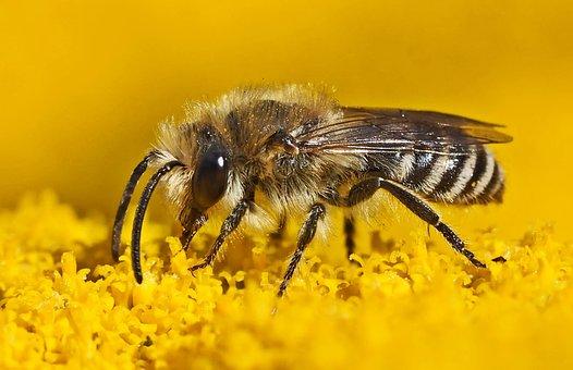Silk Bee, Colletes, Wild Bee, Always, Stechimme