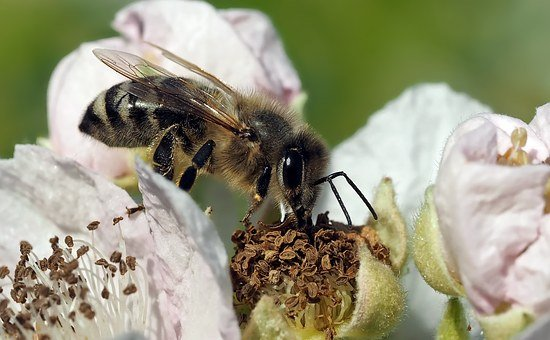Bee, Honey Bee, Close Up, Blossom, Bloom, Insect
