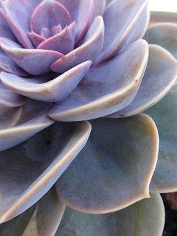 Succulent, Garden, Plant, Nature, Petal, Leaves, Violet