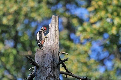 Woodpecker, Bird, Forest, Tree, Nature, Foliage, Trunk