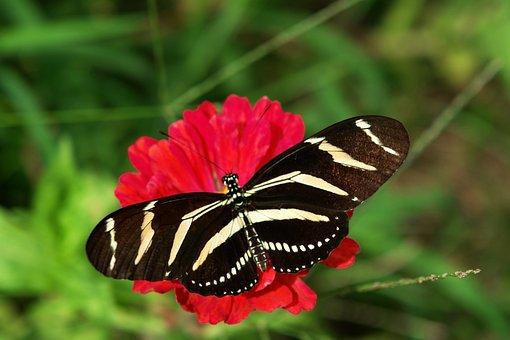 Zebra Longwing, Butterfly, Florida Butterfly