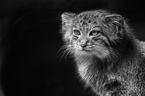 Fauna, Wild, Pallas Cat, Animals, Nature, Animal