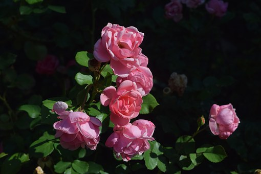 Rose, Pinkrose, Flower
