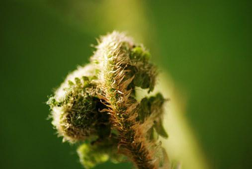 Fern, Nature, Forest, Hairy, Bud, Green, Vegetation