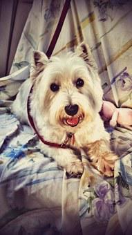 White West High Terrier, Dog, Terrier, Animal, Pet