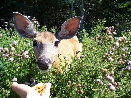 Deer, Feed, Anticosti Island