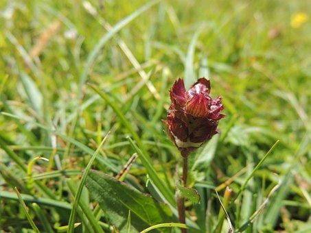 Bud, Flower, Blossom, Bloom, Wine Red, Meadow, Grass