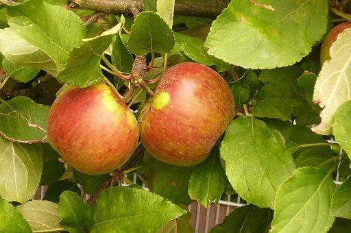 Elstar Apple, Fruit, Vitamins, Healthy, Red, Green