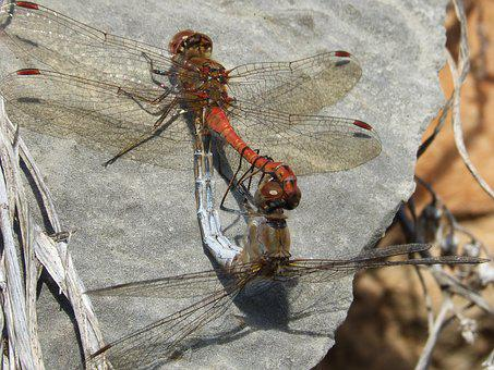 Dragonflies, Insects Mating, Copulation, Mating