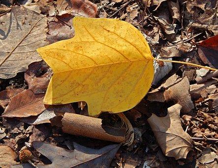 Tulip Tree Poplar Leaf, Fall, Autumn, Tree, Plant