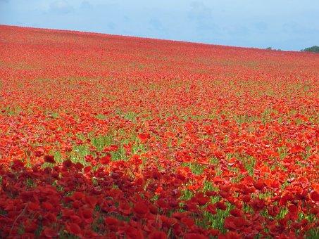 Poppy Field, Poppy, Sea Of Flowers, Red, Bloom, Plant