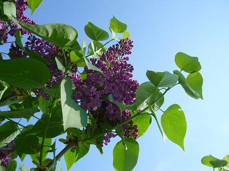 Lilac, Purple, Blossom, Bloom, Flower, Bloom, Tender