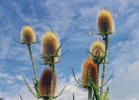 Thistle, Edeldistel, Plant, Nature, Spur, Prickly