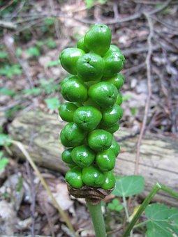 Arum Maculatum, Snakeshead, Adder's Root, Arum