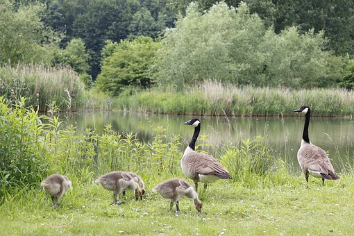 Canada Goose, Geese, Farm, Pond, Family, Baby Birds