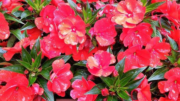Flowers, Balkonblumen, Blossom, Bloom, Red, Plant