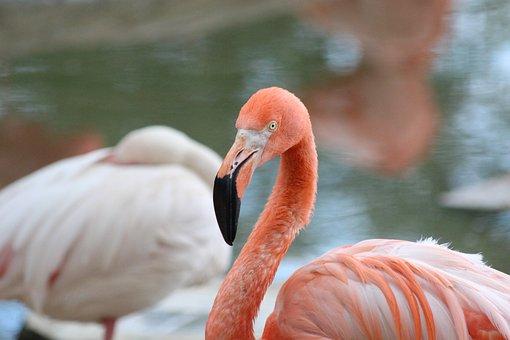 Pink Flamingo, Flamingo, Bird, Phoenicopterus Roseus