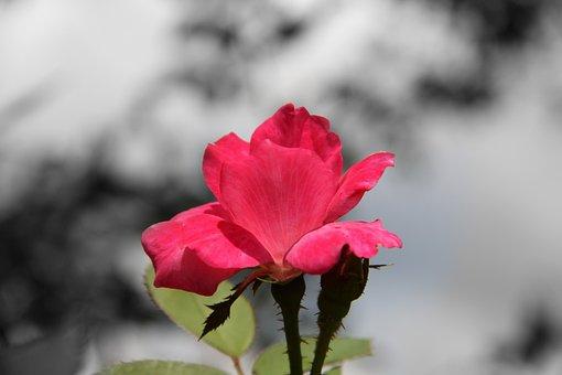 Rose, Flower, Bloom, Floral, Blossom, Petal, Exotic
