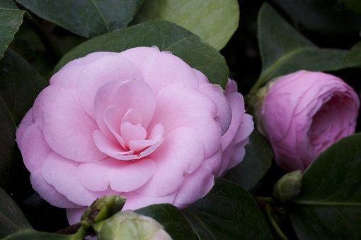 Camellia Japonica, Zierkamelie, Blossom, Bloom, Plant