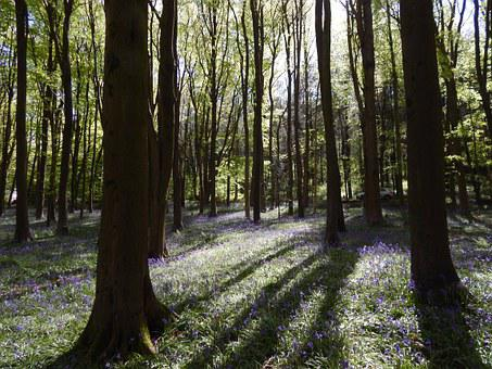 Bluebell Wood, Flowers, Springtime, Idyllic, Bloom