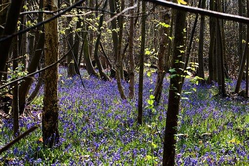 Bluebells, Woodland, Trees, Springtime, Landscape, Uk