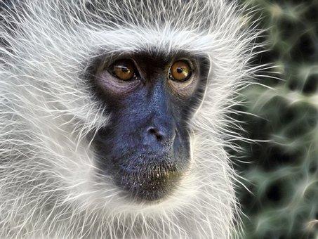 Vervet Monkey, Monkey, Female, Fractal, Fur, Primate
