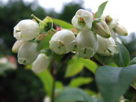 Bee, Bilberry, Flower, Pollination, Work, Garden