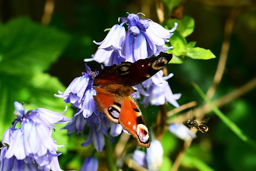 Peacock Butterfly, Inachis Io, Flying Leaf-cutter Bee