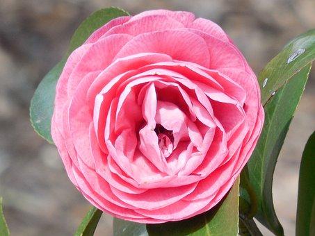 Camellia, Flower, Bloom, Garden, Petal, Plant, Spring