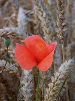 Poppy, In Field, Grains, Mohngewaechs, Field, Arable