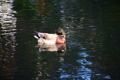 Duck, Lake, Water, Bird, Water Bird, Animal, Waters