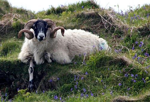 Sheep, Ram, Bluebell, Nature, Mammal, Agriculture