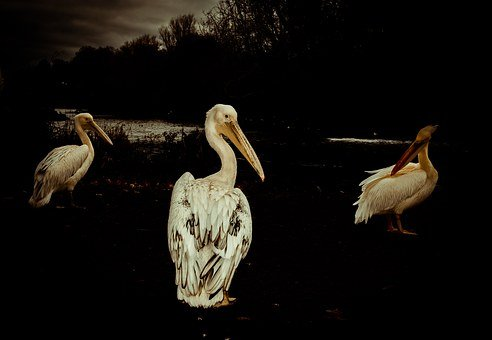 Pelican, Party, Nature, Water, Animals, Birds, Friends