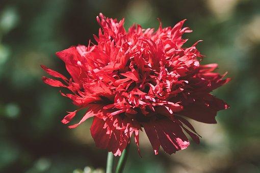 Poppy, Red, Red Poppy, Flower, Poppy Flower, Blossom