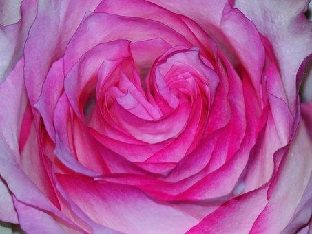 Rose, Pink, Magenta, Blossom, Bloom, Leaves, Petals