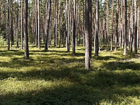 Young, Pine, Forest, Sun, Shadow, Tribes, Trees