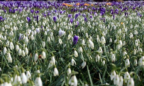 Snowdrop, Galanthus, Amaryllidaceae, Maerzgloeckchen