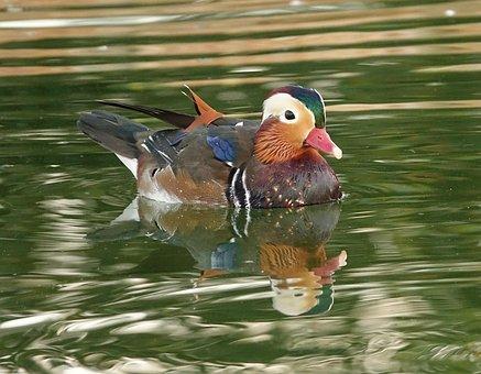 Drake, Mandarin, Duckling, Animal, Water, Pond, Bird