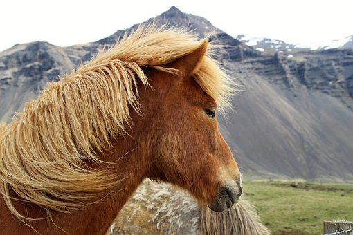Iceland, Horse, Nature, An Icelandic Pony, Brown, Mane
