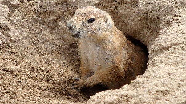 Groundhog, America, Animal, Wild Animal, Rodent