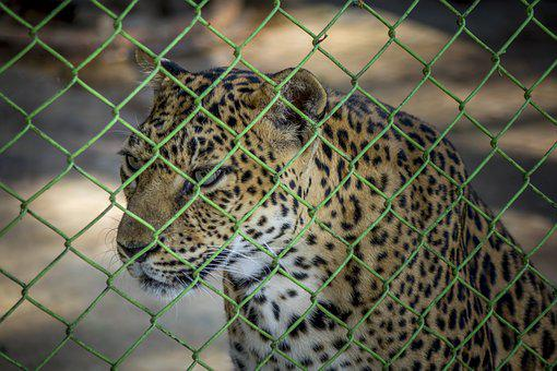 Leopard, Zoo, Cage, Wild, Animal, Wildlife, Nature